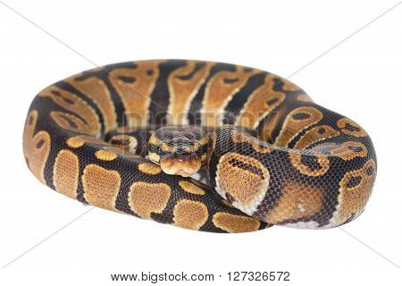 Royal Python Python Regius Isolated Over White