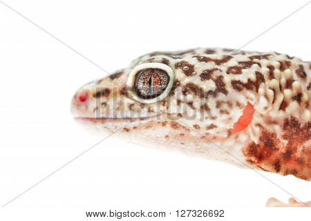 Leopard Gecko Eublepharis Macularius Isolated On White