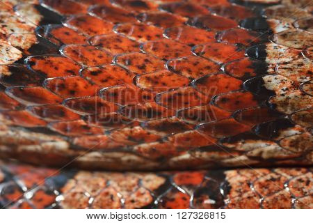 Colourful red exotic grass snake skin closeup. Snakeskin scale texture.