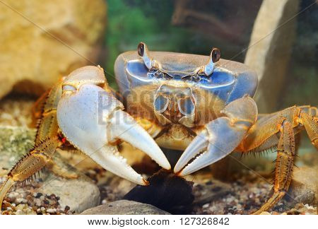 Rainbow Crab Cardisoma Armatum Closeup In An Aquarium