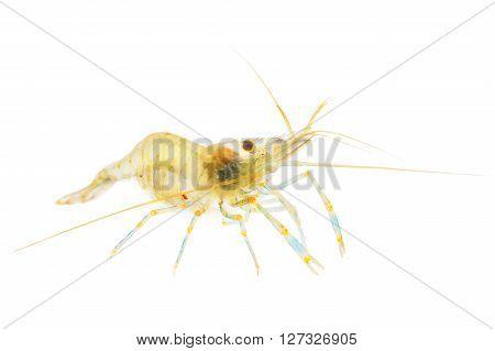 Common baltic shrimp Palaemon adspersus isolated over white. Transparent shrimp.