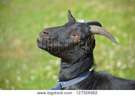 Black Goat In Blue Collar Over Green Grass Background