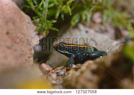 Golfodulcean Poison Dart Frog (phyllobates Vitatus) In A Natural Rainforest Environment. Colourful S