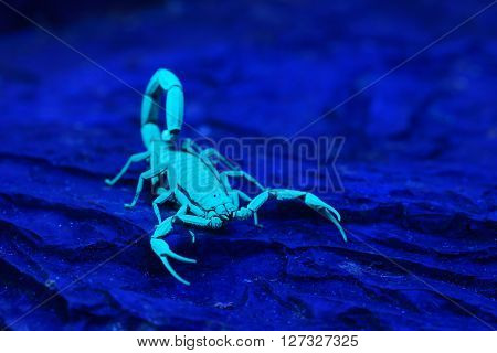 Bright blue scorpion Centruroides gracilis glowing under UV light over dark background