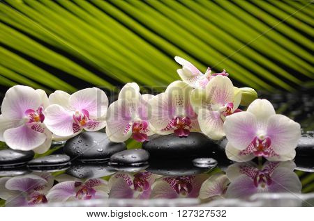 Still life with branch orchid with black stones with green plant