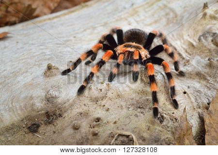Birdeater Tarantula Spider Brachypelma Smithi In Natural Forest Environment. Bright Orange Colourful