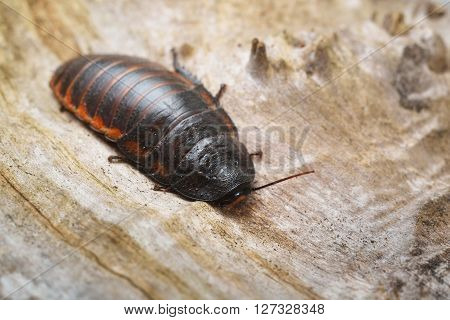 Black Giant Madagascar Hissing Cockroach In Natural Environment. Princisia Vanwaerebeki.