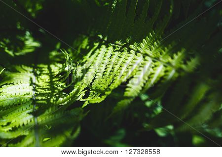 The young fern green leaves in sunny light