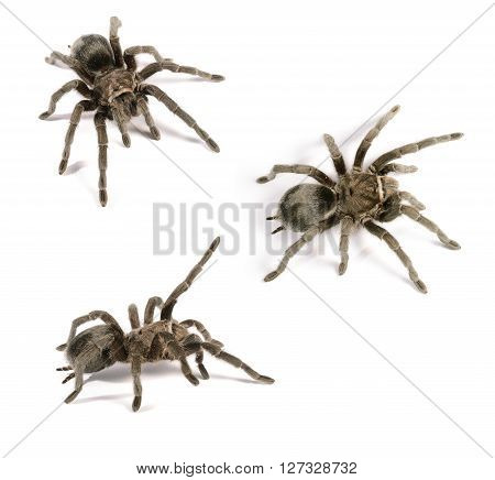 Black tarantula Grammostola pulchra isolated over white