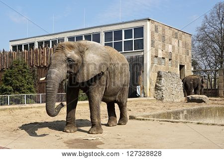 MAGDEBURG, GERMANY - APRIL 10, 2016: African elephant at the zoo in Magdeburg