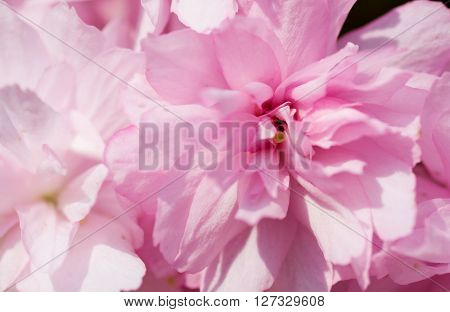 Sakura Cherry Blossom in Springtime. Beautiful Pink Flowers.