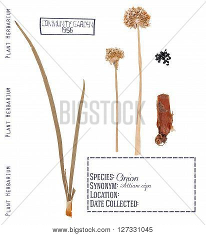 Pressed parts herbarium plant onions. Leaves buds bulb and seeds of onions isolated on white
