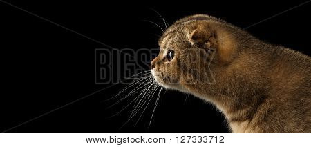 Closeup Scottish fold Cat stretches forward in Profile view Isolated on Black Background