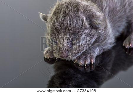 gray blind kitten on a dark background