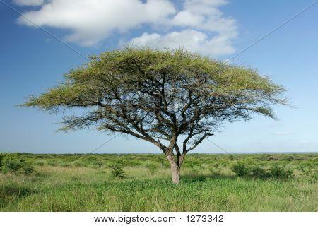 Árbol de Acacia africano