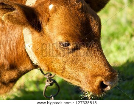 Red tethered calf eating the grass, closeup