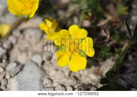 Flowers of a spring cinquefoil or spotted cinquefoil (Potentilla neumanniana) on a stony substrate.