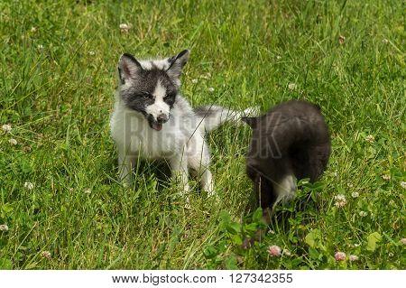 Marble and Silver Fox (Vulpes vulpes) at Play - captive animals
