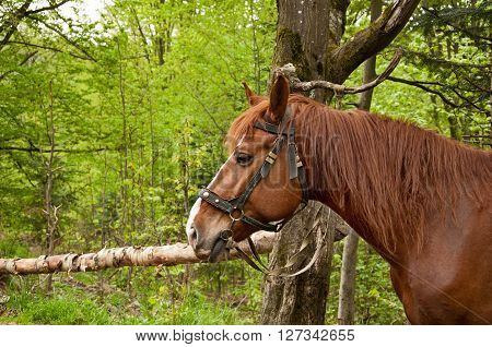 The portrait of brown horse on nature