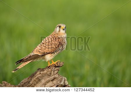 Beautiful bird of prey perched on a wooden log
