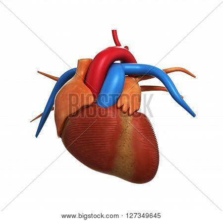 Human Heart Anatomy Of Human Heart Isolated On White 3D Render