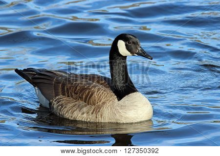 A Canada Goose (Branta canadensis) swimming on a blue lake.