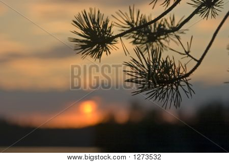 Pine Branch On A Background Of A Decline