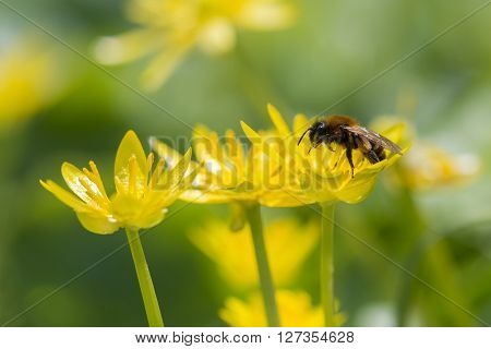 Three flowers of Lesser Celandine (Ranunculus ficaria) visited by an unidentified Bee