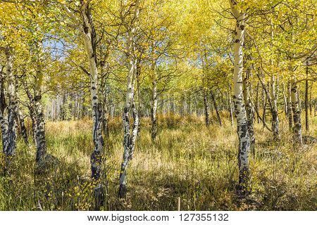 Golden Aspen Forest in the Rocky Mountains in Colorado