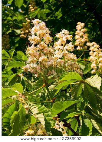 Chestnut (Castanea vesca) ornaments spring flowers in the parks