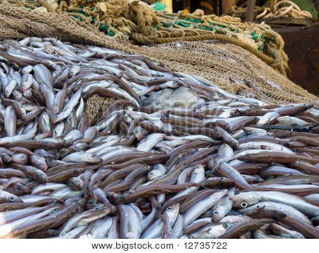 blue whiting fish on deck factory vessel