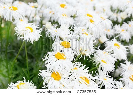 White crazy ox eye daisy background outdoors