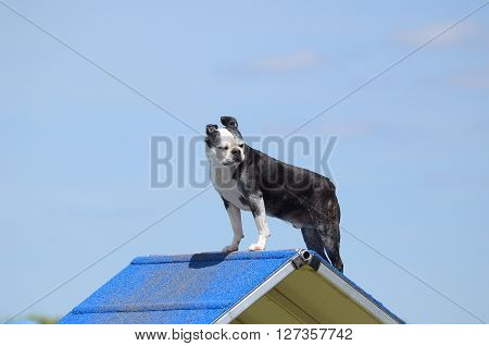 Boston Terrier Standing on an A-frame at Dog Agility Trial