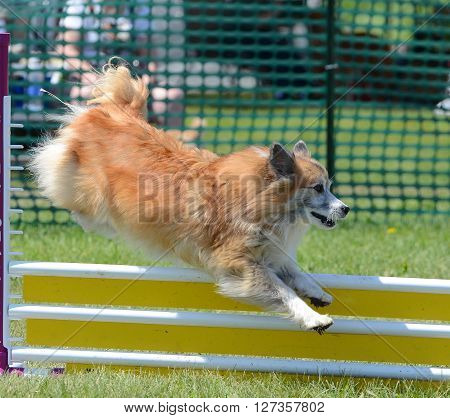 Icelandic Sheepdog Leaping Over a Jump at Dog Agility Trial