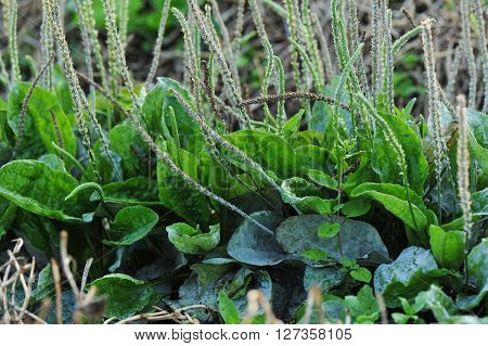 green plantain plants in growth in the nature