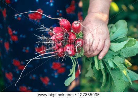 Bunch of radishes in old women's hands.  Organic vegetables. Healthy food.