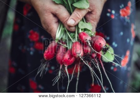 Red radish in hand while harvesting. Organic vegetables. Healthy food.