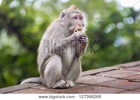 Portrait of monkey eating banana in monkey forest, Bali