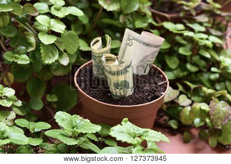 some dollar bills in a brown plant pot next to a Plectranthus verticillatus plant, considered in some countries as a money plant