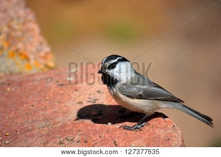 Mountain Chickadee Standing on a Red Rock on a Sunny Day