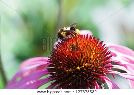 Honey Bee Collects Flower Nectar