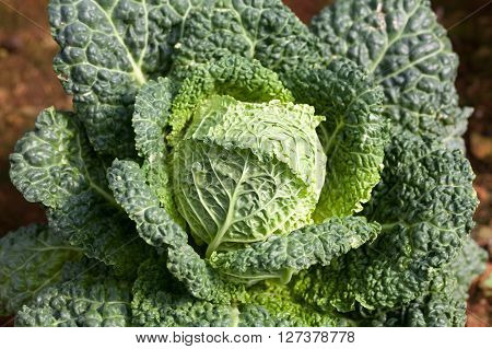 Savoy Cabbage Super Food. Top View