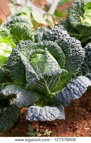 Savoy Cabbage Super Food