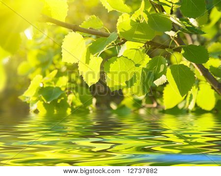 leaves of aspen and pure water