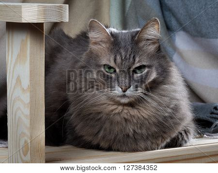 Cat on planed wood. Portrait of a big gray cat with green eyes. Cat fluffy, furry