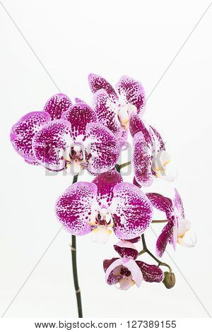Dark purple and white Phalaenopsis orchids close up over white background
