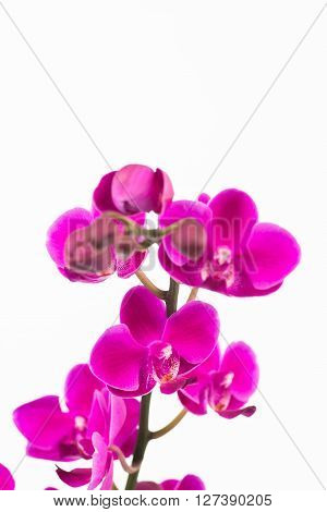 Small purple Phalaenopsis orchids close up over white background