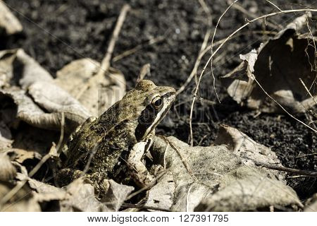 ordinary frog sits among the dry grass