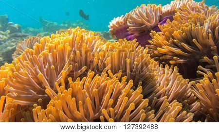 Amphiprion percula sheltering among the tentacles of its anemone Marsa Alam Egypt