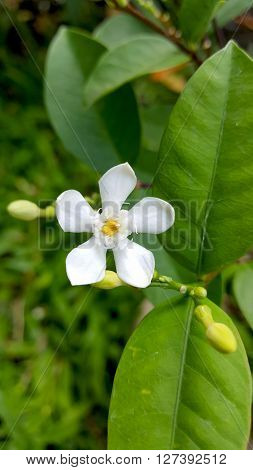 Tabernaemontana divaricata or Crape Jasmine or pinwheel flower in the garden